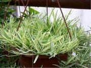 Bambus převislý - panašovaný