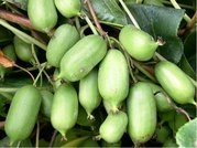 Kiwi arguta Issai - samosprašné