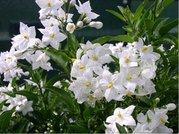 Lilek převislý - jasmínokvětý