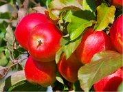 Jabloň RUBINOLA