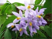 Lilek previsnut� - fialov�