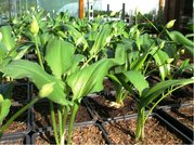 MEDVEDÍ CESNAK - Allium ursinum