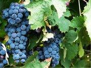 Vinič modrý MERLOT