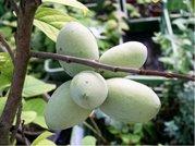 Asimina triloba - semenáč