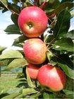 Stípovitá jabloň FLAMENCO