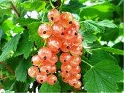 Rybíz stromkový růžový LUBAWA