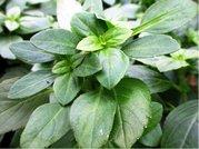 Bazalka  zelená