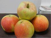 Sloupovitá jabloň JAMES GRIEVE SUPER COMPACT® - podn. M26