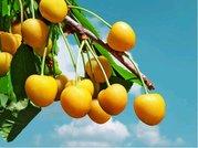 Třešeň DÖNISSENOVA žlutá